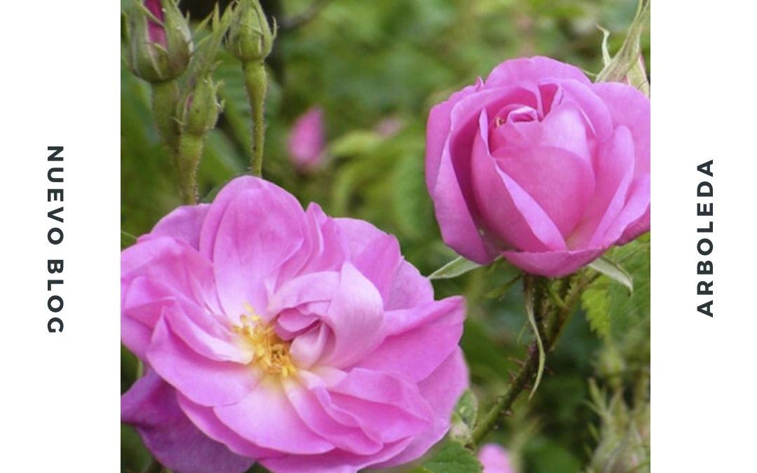 Rosa de Damasco, la gran demandada en la cosmética natural